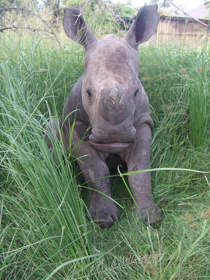 A young rhino sat back in the long grass - African Conservation Experience #moholoholo #wildlife #rhino