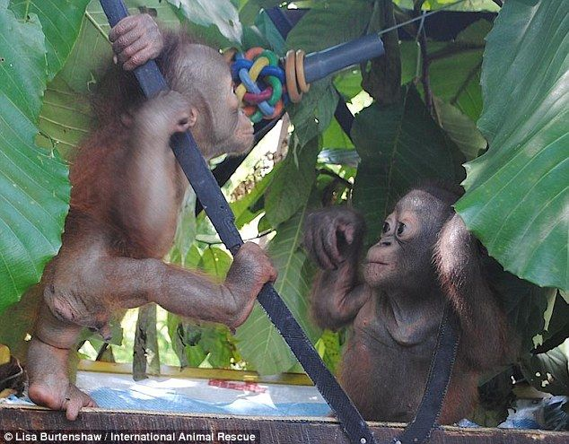 First encounter: Budi (right) - the baby orangutan who spent most of his short life trapped in a cage - has met another ape for the very first time