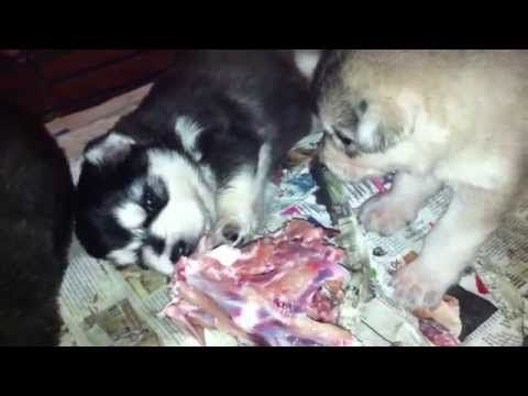 When is the best time to start weaning puppies? - YouTube