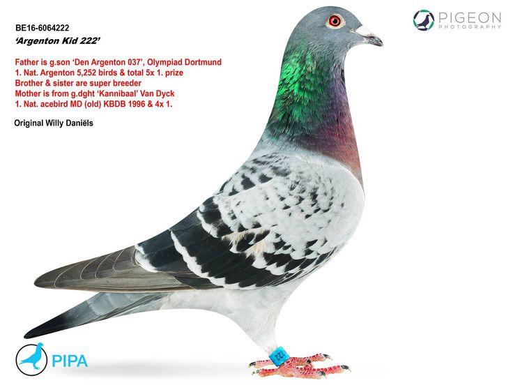 Argenton Kid 222 | PIPA