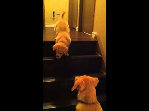 Dog  teaching Puppy to go down stairs! Its so adorable.