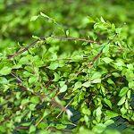 Entdecken Sie, warum Buchu besser für die Blasenentzündung wirkt als Cranberry. Buchu ist die gesunde Alternative zu Cranberry (Preiselbeeren)
