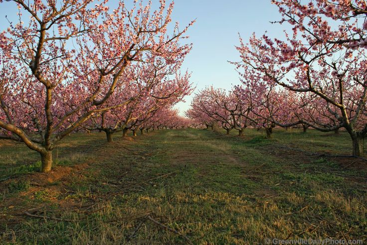 Pretty Peach Orchards Orchards Pinterest