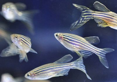 Turns out humans aren't the only addicts. Given the choice, Zebrafish willingly dose themselves with opioids.   This animal model was thought to explore drug-seeking behaviour and give researchers an insight as to what drives the behaviour. Researchers chose zebrafish because they have a m-opioid receptor and two neurotransmitters that trigger rewards. This is similar enough to humans to warrant a closer look.  Their ultimate aim? To find ways to treat the behaviours, not just the symptoms.