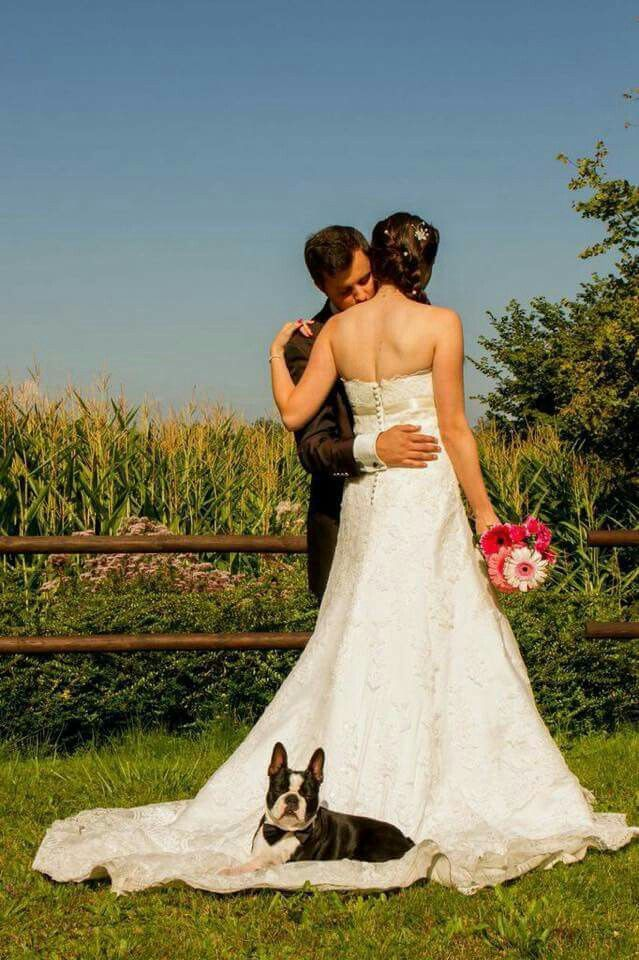 Boston Terrier wedding photo
