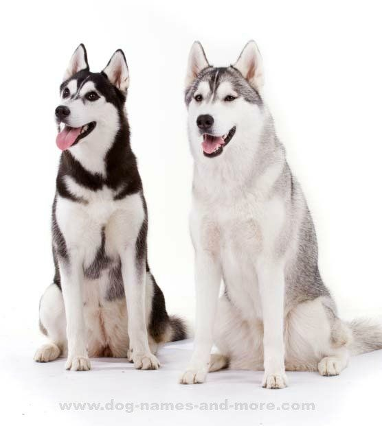 Two Husky pals waiting for their Siberian Husky names... http://www.dog-names-and-more.com/Siberian-Husky-Names.html