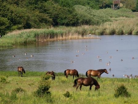 Wild horses in the South of Langeland - Pinned by Æblegaarden B&B, Langeland, Denmark, www.aeblegaarden.dk