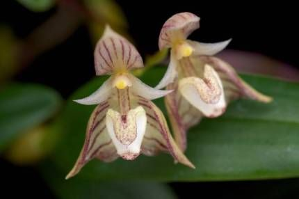Orchids  - rare and unusual varieties Flowering Size Plants | Plants | Gumtree Australia Blue Mountains - Katoomba | 1113466009