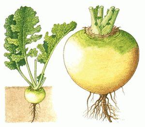 Raap  Dit is de oudste cultuur in Rusland. In de voeding van de bevolking van de noordelijke regio's rap was van doorslaggevend belang totdat de aardappel, vooral in de slechte oogst van graan. Want hier de andere groenten slechter doen vanwege het ontbreken van warmte. Als opslag na de oogst van de knollen goed te organiseren, smaak, voedingswaarde en de therapeutische eigenschappen van plantaardige vrijwel onverminderd door.... http://groenten.ntroi.info/raap.html