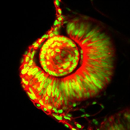 Confocal microscopy captures every cell mitosis, migration and death in the eye of a living zebrafish embryo (green: nuclei, red: cell membrane). FRASER