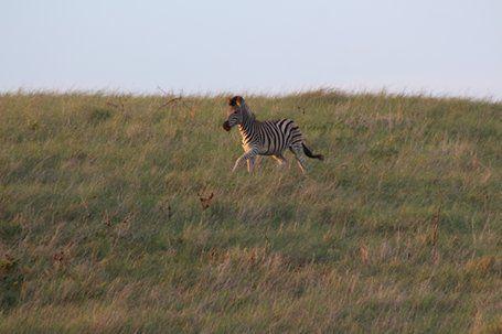 Plains Zebra, Cape Recife , Alan Tours