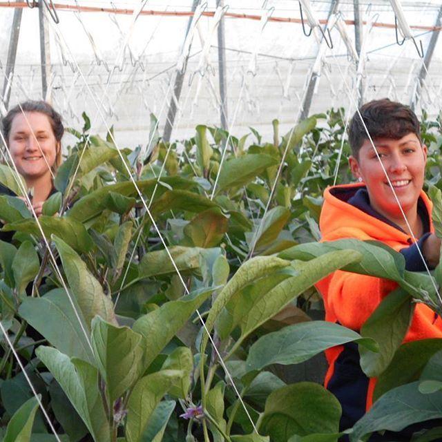 #behindthescenes Michelle and Justine trellesing eggplants in our greenhouses in Moore Park, Queensland. #farming #aussiefarming #eggplant #aubergine #freshproduce #trellesing #moorepark #queensland #eatfresh #healthyeating #superfood #instafood #instagram #bundaberg #carterandspencer