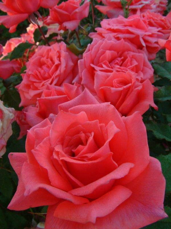 City of Christchurch - Hybrid Teas - Old Garden Roses - Rose Catalog - Tasman Bay Roses - Buy Roses Online in New Zealand