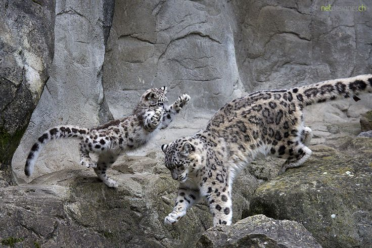 4 month old snow leopard cub playing with his mum.
