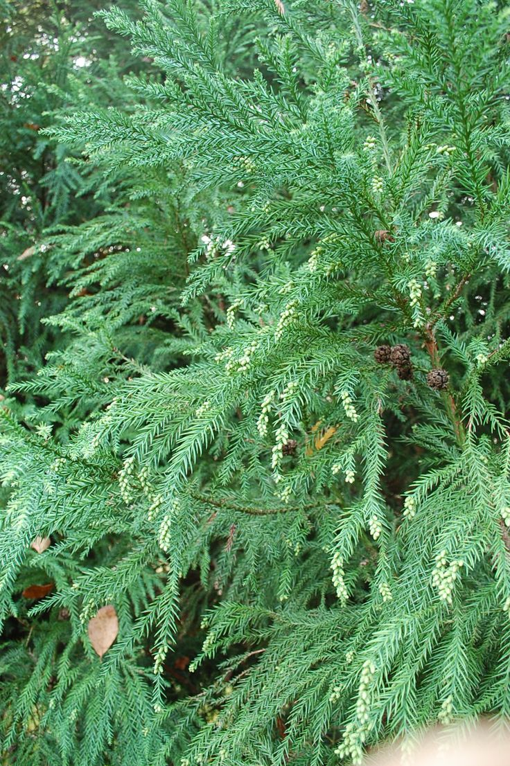 Cryptomeria is a highly textured evergreen. Some stems have tan pine cones at the tips.