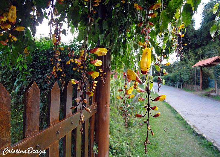 O Sapatinho de Judia e uma trepadeira volúvel, da família Acanthaceae, originária da Índia, semi-lenhosa, vigorosa com ramos de até 20 metros de comprimento