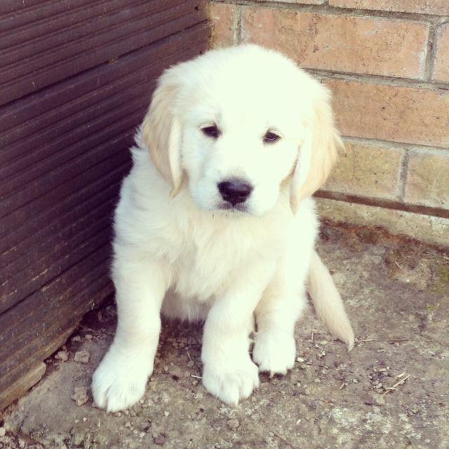 Golden retriver puppy!!