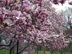 Magnolienbaum - Pflanzen