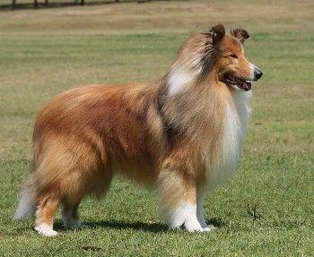 Raza de perro Collie o Pastor Escoces