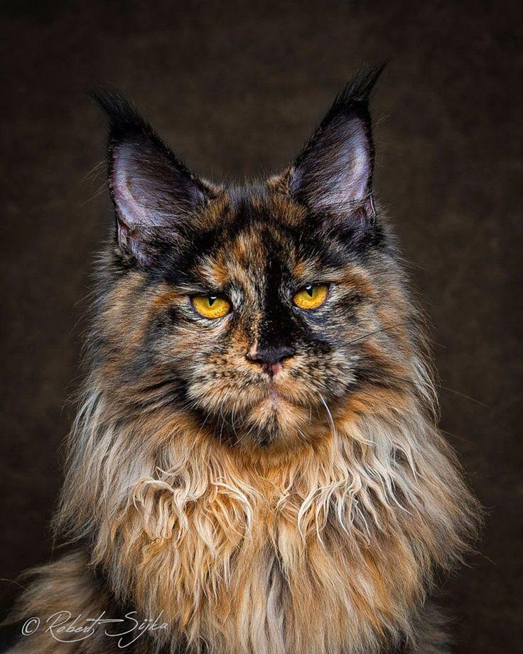 O fotógrafo Robert Sijka ama gatos e decidiu juntar suas duas paixões nessa sessão de fotos incríveis da majestosa raça Maine Coon - a raça de felinos dom