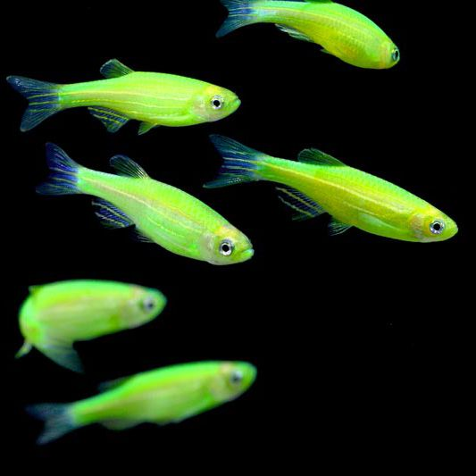82 best images about glofish on pinterest glow unique for Neon freshwater fish