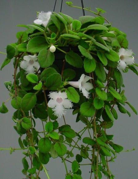 Alsobia Dianthiflora (Lace Flower Vine) 1 plant 3½'' pot.