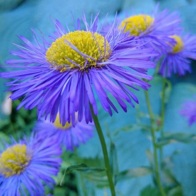 #aster #purple #yellow #flower #summertime #VancouverBC #Blackberryphoto  Love how the breeze lifts the top layer of the fine petals of the aster. The colour combination - purple, yellow, green and teal in the background - so calming, yet so vibrant, so Summer like.