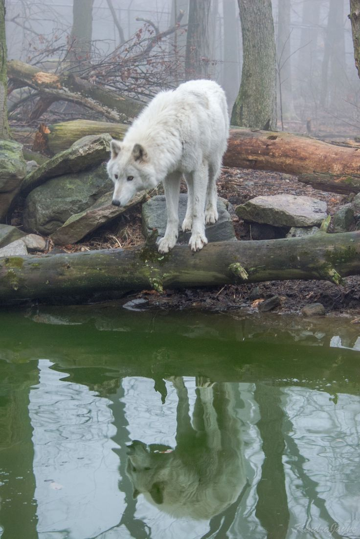 90377:   timber wolf reflection-28 by Kendra... -
