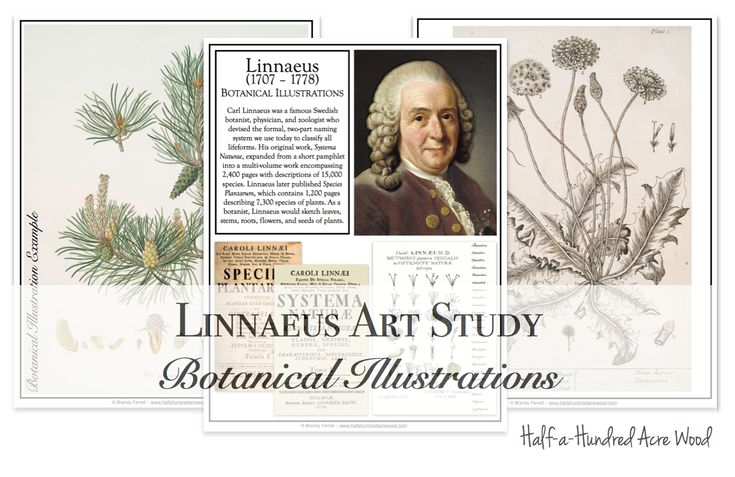 Linnaeus art project: botanical illustrations in the style of Carl Linnaeus, simple fine arts study with free printables and instructions.