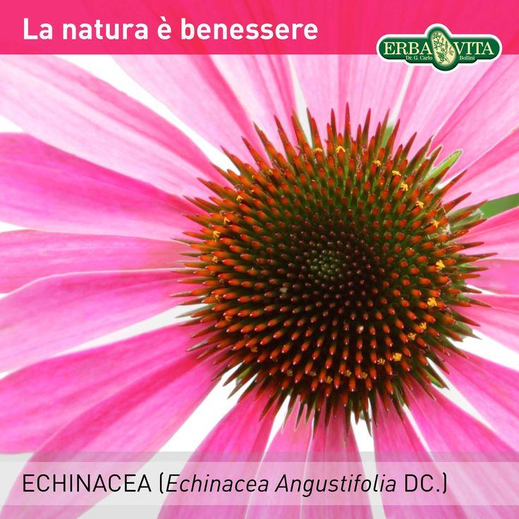 #ECHINACEA - La natura è benessere L'Echinacea, fonte naturale di echinacoside, è utile per favorire le naturali difese dell'organismo e la funzionalità delle prime vie respiratorie. #ErbaVita #ProdottiNaturali #IntegratoriAlimentari