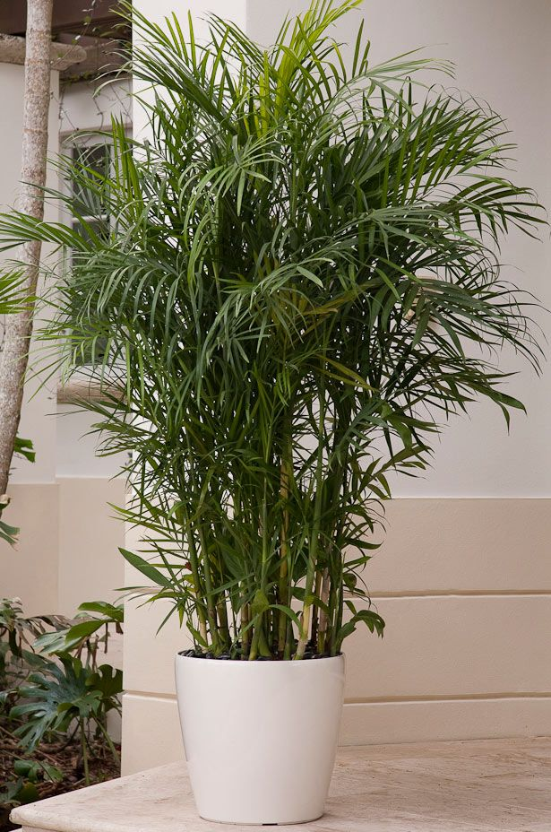 Reed Palm Reed palm (also called cane bamboo)  bamboo palms can thrive in almost any room in the house. Our bamboo palms are raised in low light conditions so that when they are placed in your home, they adapt instantly. This palm is planted in a white self-watering Lechuza planter (with attractive smooth black stones as a mulch) -- a combo that combines high-style with easy-care practicality.    Care tip: When leaves turn yellow or brown, clip them off with sharp pruning shears.