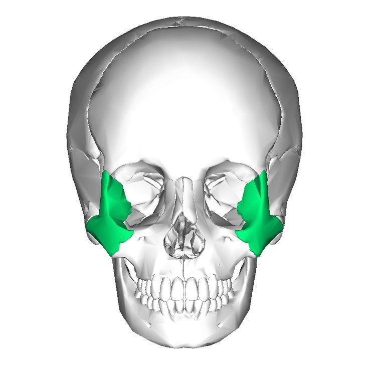 20 best images about human skull on pinterest | the skulls, skull, Human Body