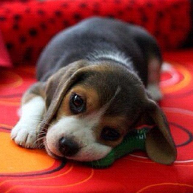 Beagle - lol I remember being fooled by an innocent little face just like this