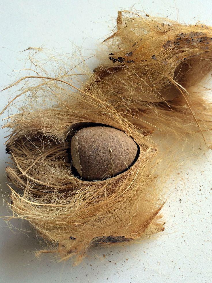 Betelnuss | Areca catechu