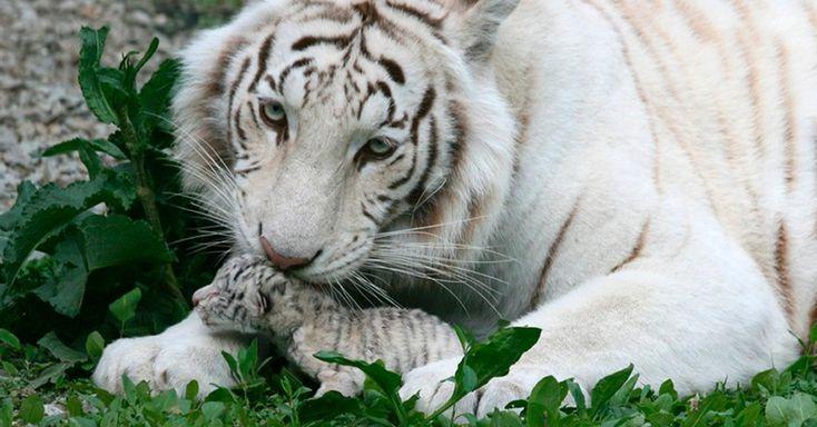 A tigresa branca de bengala Tigryulia, de três anos, cuida de um de seus filhotes em zoológico da cidade de Yalta, na Ucrânia. A tigresa, que se tornou símbolo da campanha presidencial de Yulia Tymoshenko, volta aos holofotes após dar a luz a quatro tigrinhos, incluindo um raro albino, by Andrew Lubimov/AP