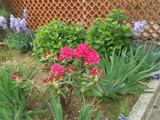 Il piccolo rododendro fiorito