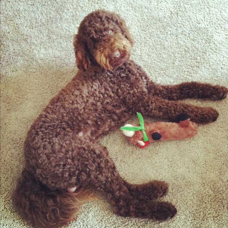 115 best images about dog labradoodle on pinterest poodles docks lake and labradoodles. Black Bedroom Furniture Sets. Home Design Ideas