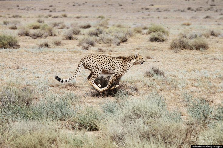 The endangered Asiatic Cheetah in Iran (Getty)