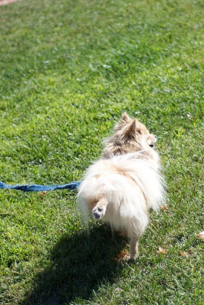 Dog urine on grass is a common problem for dog owners, but there are many things you can do to protect grass from dog urine damage. Read about them in this article to prevent urine from killing grass.