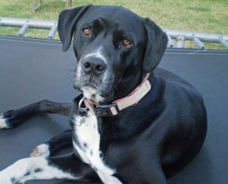Henri the Mixed Breed -- Dog Breed: Dalmatian / Labrador Retriever