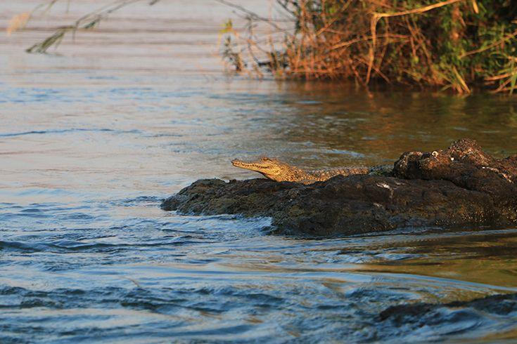 Crocs on the Zambezi - at Royal Chundu
