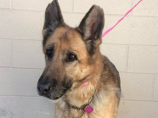 German Shepherd Dog Dog For Adoption in pomona, CA
