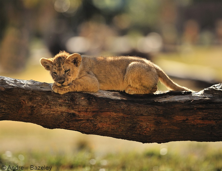 Bushed! This lion cub is taking a rest on a fallen tree branch after some hard play with his siblings.