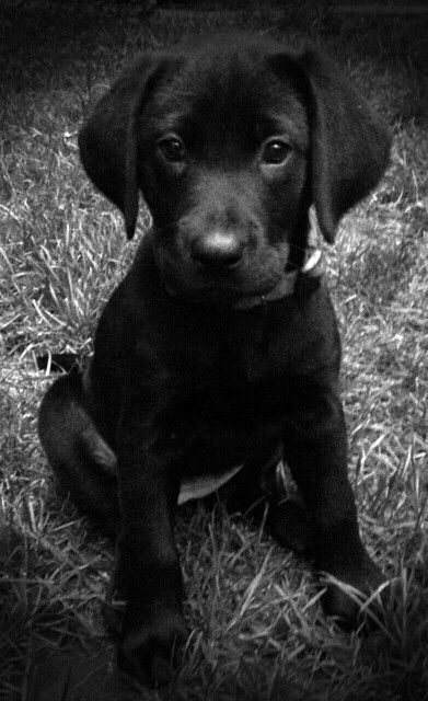 Moxie * Black Lab Puppy *