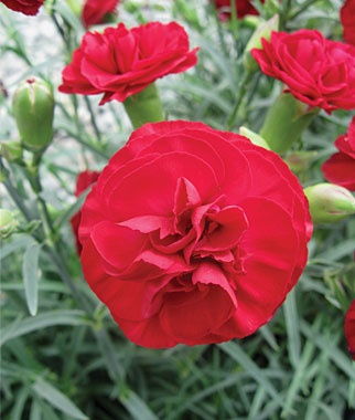 Dianthus, Red BeautyThings Beautifull Flow, Things Beautifulflowers, Beautiful Bloom, Things Beautiful Flow, Beautiful Dianthus, Red Flower, Red Beautiful, Flower Gardens, Beautiful Pp20301