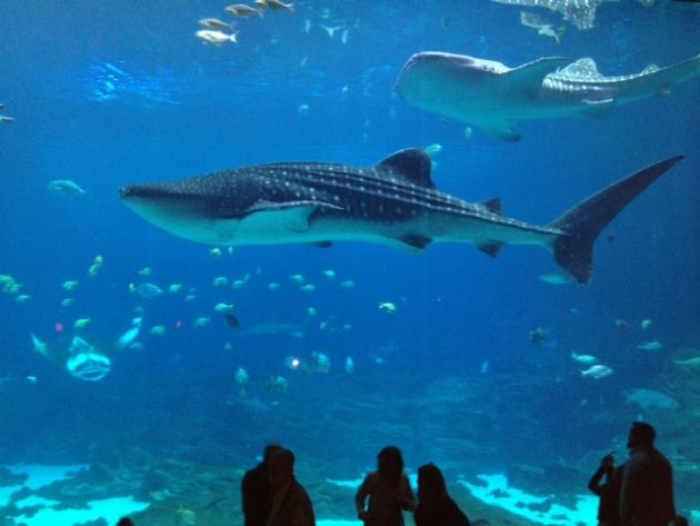 The Georgia Aquarium is the only aquarium outside of Asia to exhibit whale sharks, the largest fish in the world.