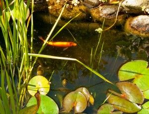 54 Best Images About Pond Fish On Pinterest Japanese Koi Backyard Ponds And The Zen