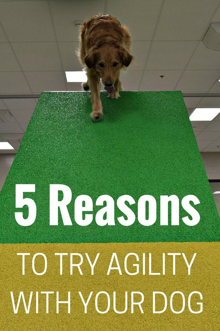 Have you thought about trying agility with your dog? Check out the 5 benefits of trying agility. Agility is the best way to exercise your dog's body and brain. [Lollypop Farm]