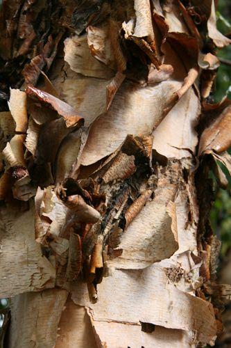 Betula nigra 'Cully Heritage''