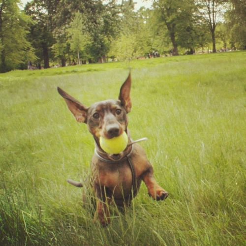 I GOT MY BAAALLLLLLLLLL!: Dachshund Loveeeee, Doxie Darlings, Animals Wiener, Dachshund Kisses, Dachshund Lady, Dachshund Stuff, Dachshunds At, Crazy Dachshund, Wiener Dogs